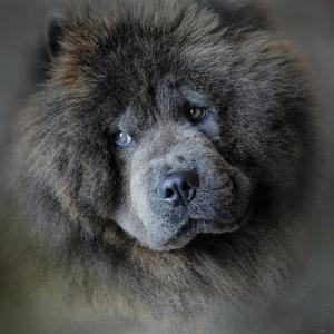 Watching Master Blue Chow Chow by Jai Johnson