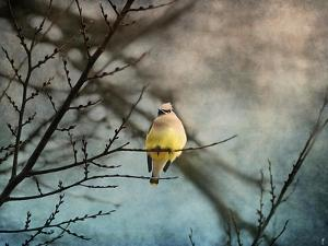 Waxwing at Winter Sunset by Jai Johnson