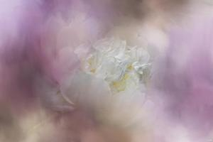 White Peony 2 by Jai Johnson