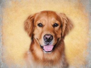 Young Golden Retriever Portrait by Jai Johnson