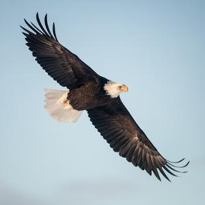 A Bald Eagle, Haliaeetus Leucocephalus, Making a Slow Banking Turn with its Wings Spread by Jak Wonderly