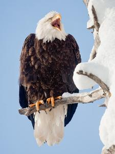 A Bald Eagle, Haliaeetus Leucocephalus, Perched on a Snow-Covered Tree Branch by Jak Wonderly
