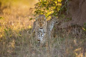 A Female Leopard, Panthera Pardus, Walking with its Cub in the Background by Jak Wonderly