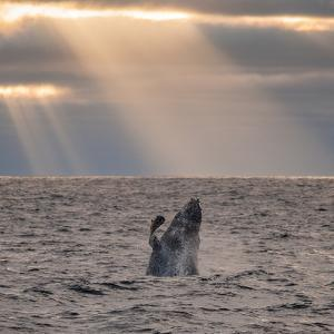 A Humpback Whale, Megaptera Novaeangliae, Breaching under Rays of Sunlight by Jak Wonderly