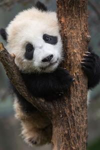 A young giant panda clings to a tree by Jak Wonderly