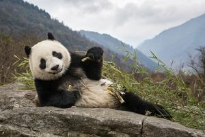 A young giant panda eating bamboo by Jak Wonderly