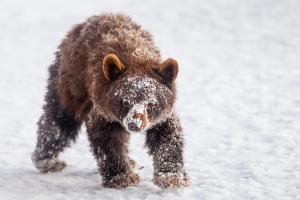 An Alaskan Brown Bear Cub, Ursus Arctos Gyas, Looking for Fish Scraps under Heavy Snow by Jak Wonderly