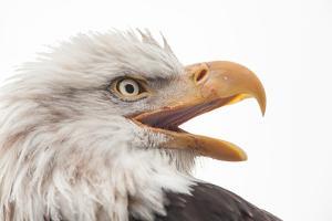 Close Up of Bald Eagle, Haliaeetus Leucocephalus, with its Beak Open by Jak Wonderly