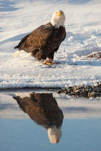 Portrait of a Bald Eagle, Haliaeetus Leucocephalus, and its Reflection in Water by Jak Wonderly