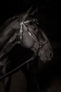 Portrait of a Lusitano Stallion in a Dark Arena by Jak Wonderly