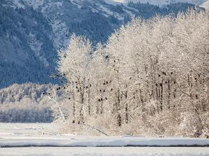 Snowy Trees Populated with Bald Eagles, Haliaeetus Leucocephalus, and Mountains in the Distance by Jak Wonderly