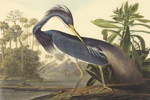 Louisiana Heron by James Audubon