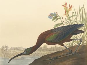 The Glossy Ibis by James Audubon