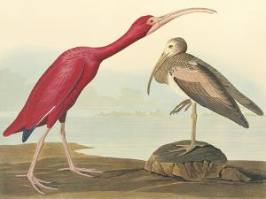 The Scarlet Ibis by James Audubon