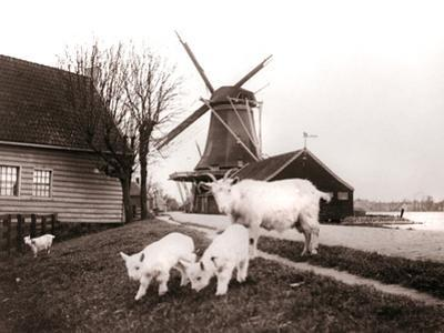Goats, Laandam, Netherlands, 1898 by James Batkin