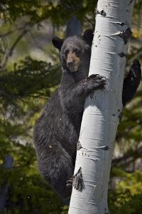 Black Bear (Ursus Americanus) Sow Climbing a Tree by James