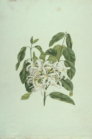 Taberne Montana (Leaves and Flowers)