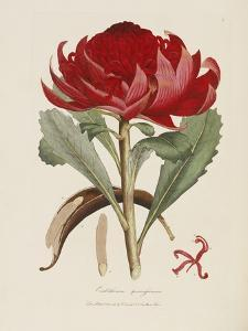 A Specimen of the Botany of New Holland by James Edward Smith