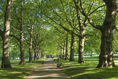 Avenue of Trees in Green Park, London, England, United Kingdom, Europe