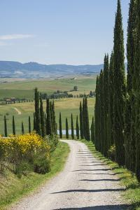 Tree Lined Driveway, Val D'Orcia, Tuscany, Italy, Europe by James Emmerson