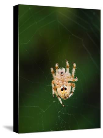 An Orb Weaving Spider in the Center of it's Web