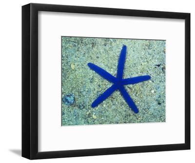Blue Sea Star or Starfish on Sand, Linckia Laevigata
