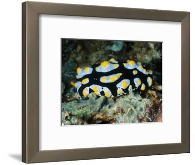Blue with Yellow Spots Nudibranch or Sea Slug, Phyllidia Varicosa, Solomon Islands