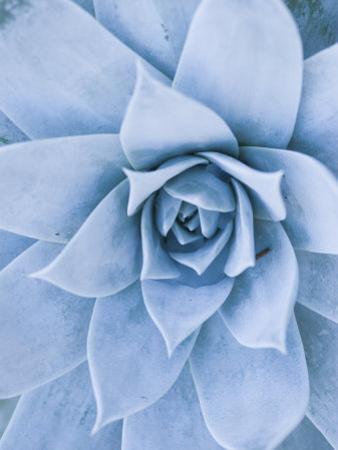 Close-Up of Blue Green Echeveria Succulent Plant, California by James Forte