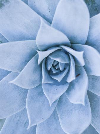 Close-Up of Blue Green Echeveria Succulent Plant, California