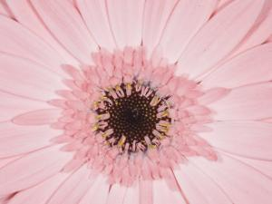 Close-up of Gerbera Daisy by James Forte
