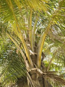 Close-Up of Palm Tree Trunk and Leaves, Ambergris Caye, Belize by James Forte