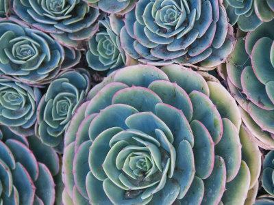 Cluster of Succulents