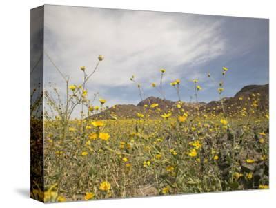 Desert Wildflowers in Death Valley National Park, California