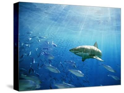 Great White Shark Hunting in a Large School of Sardines