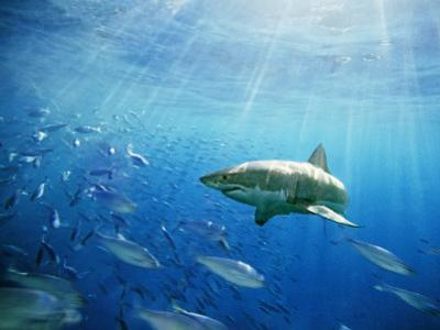 Great White Shark Hunting in a Large School of Sardines by James Forte