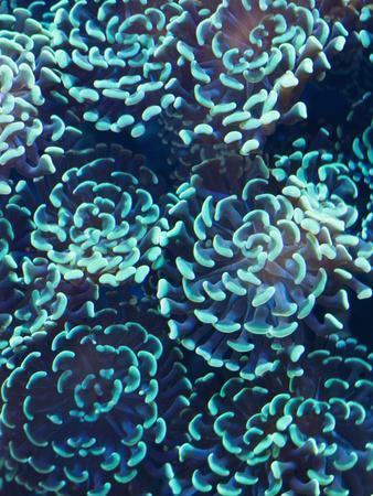Hammer or Anchor Coral, Euphylla Anchora, in an Aquarium