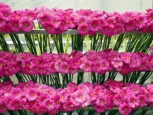 Harvested Gerbera Daisies Freshly Picked from Greenhouse by James Forte