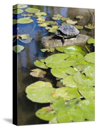 Single Red-Eared Slider Turtle on Rock in a Pond, Trachemys Scripta