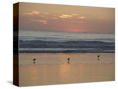 Three Sea Birds Standing in the Surf at Sunset, California