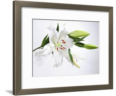 White Lily and Buds
