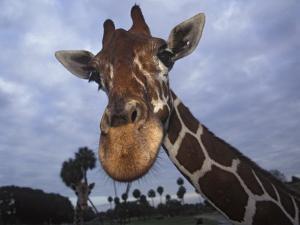 Giraffe, Africa by James Gritz
