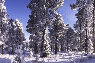 Ponderosa Pines in Winter, Colorado