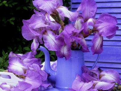 "Bearded Iris ""Blue Shimmer"" in Blue Coffee Jug on Table with Blue Shutter in Background"