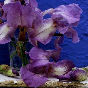 "Bearded Iris ""Blue Shimmer,"" Purple and White Flowers in Glass Vase Against Blue Backdrop by James Guilliam"