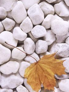 Close-up of Maple Leaf Lying on White Pebbles by James Guilliam