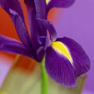 Iris Flower Against Red & Purple Background by James Guilliam