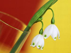 """Leucojum Vernum """"Spring Snowflake"""" in Glass Vase with Red & Yellow Background by James Guilliam"""
