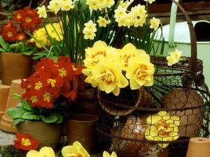 """Narcissus """"Tahiti"""" and """"Minnow"""" (Daffodil) with Red Polyanthus Plant by James Guilliam"""