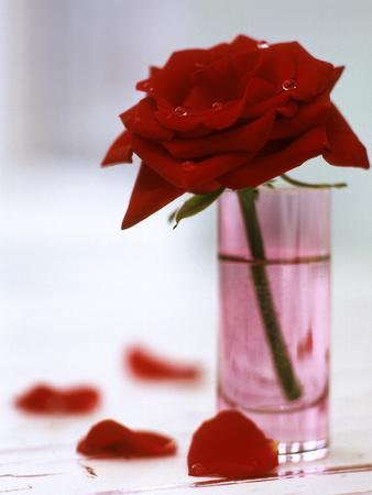 Red Rose in Glass Vase with Petals Scattered Around Base