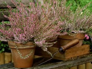 """Scotch Heather """"Anette"""" in Terracotta Pots with Wooden Box & Hand Trowel on Garden Seat, October by James Guilliam"""